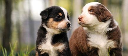 JuniBARF für junge Hunde